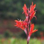 Canna indica 364 150x150 - Cây hoa dong riềng cho không gian xanh